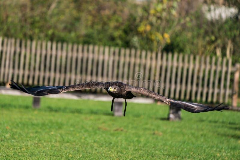 哈里斯的鹰、Parabuteo unicinctus、海湾飞过的鹰或者暗淡的鹰 免版税图库摄影