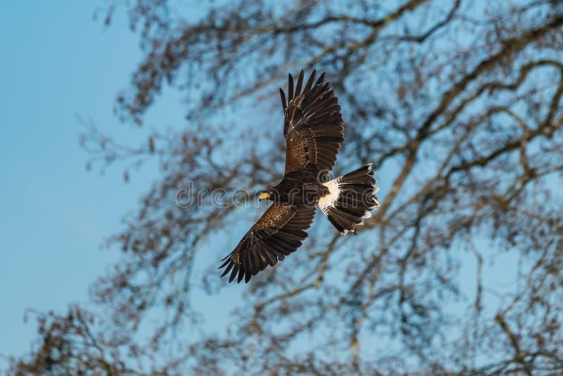 哈里斯的鹰、Parabuteo unicinctus、海湾飞过的鹰或者暗淡的鹰 库存照片