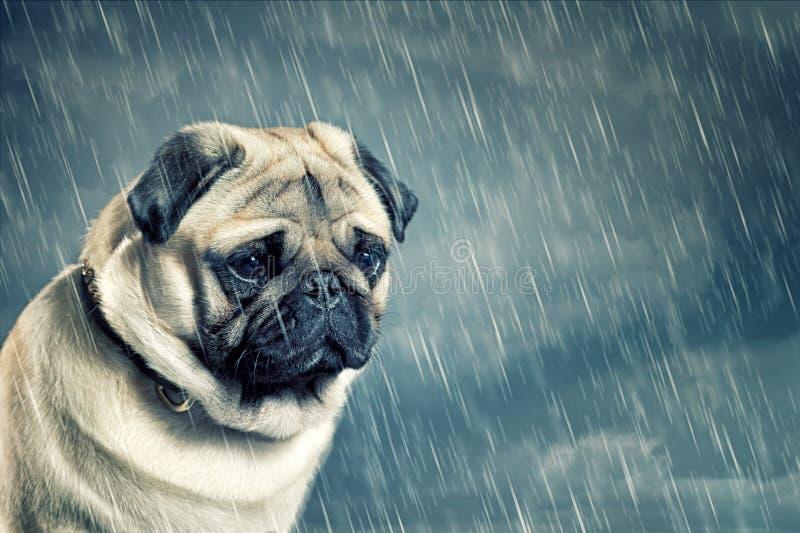 哈巴狗在雨中 免版税库存图片