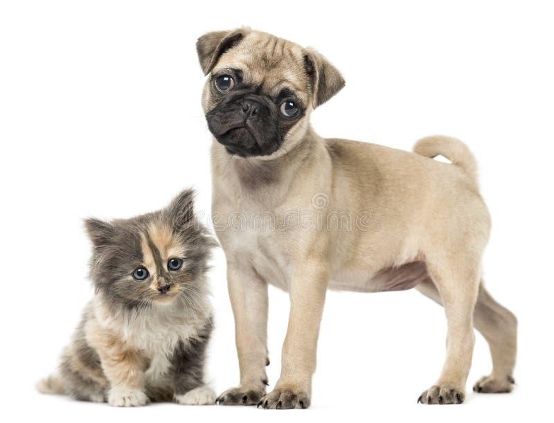 哈巴狗小狗和欧洲人Shorthair小猫,隔绝在白色 图库摄影