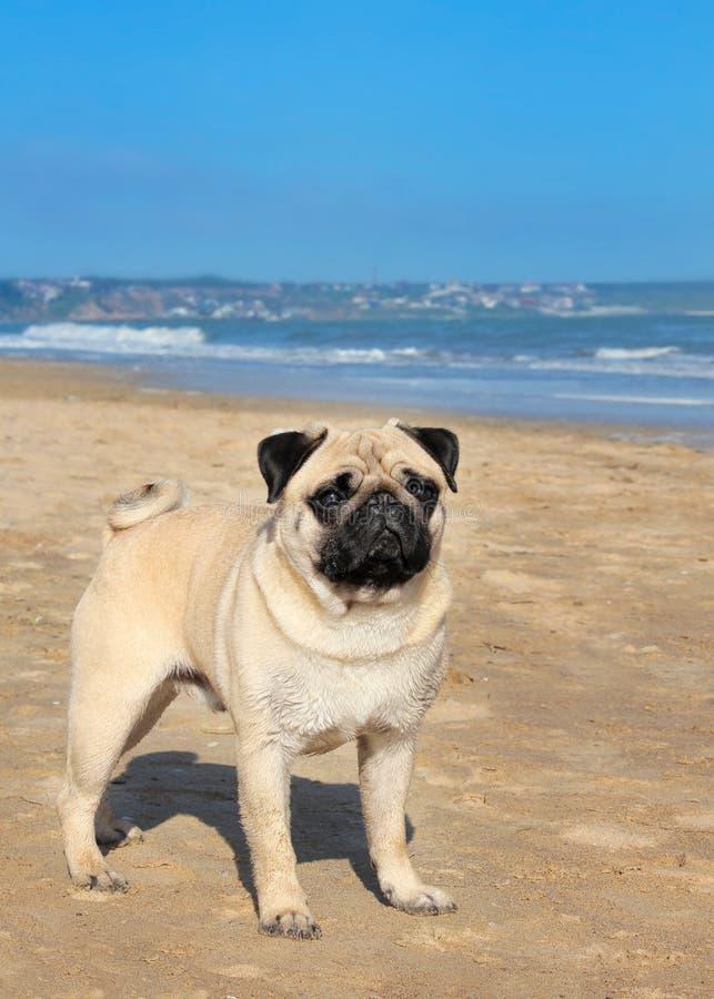 哈巴狗狗是站立在海滩的一匹幼小纯血种马并且看 图库摄影