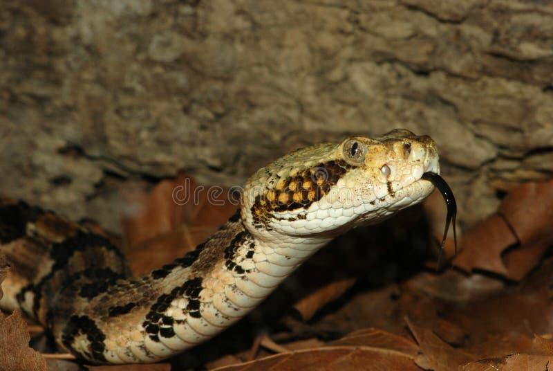 响尾蛇木材 免版税图库摄影