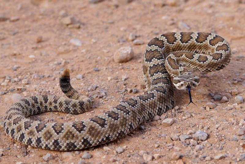 响尾蛇的分叉的舌头,响尾蛇oreganus lutosus 库存图片