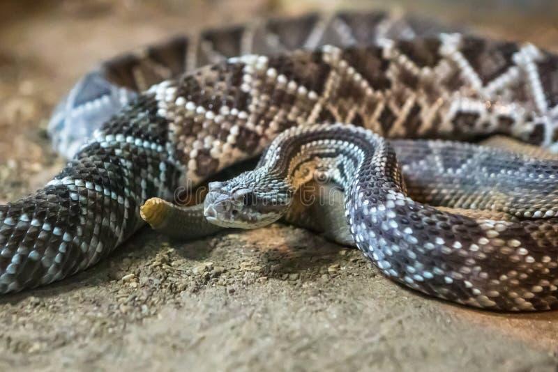 响尾蛇,响尾蛇atrox 西部的菱纹背响尾蛇 库存照片