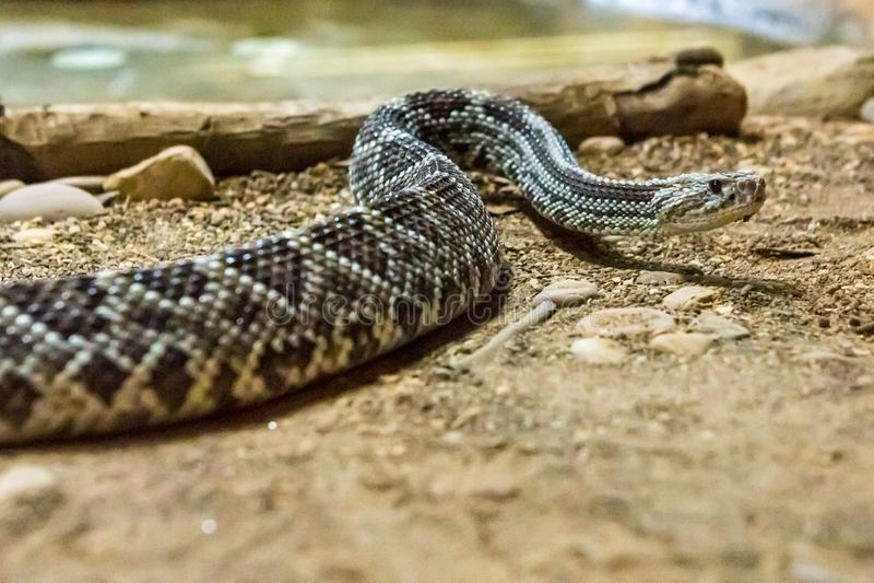 响尾蛇,响尾蛇atrox 西部的菱纹背响尾蛇 免版税库存照片