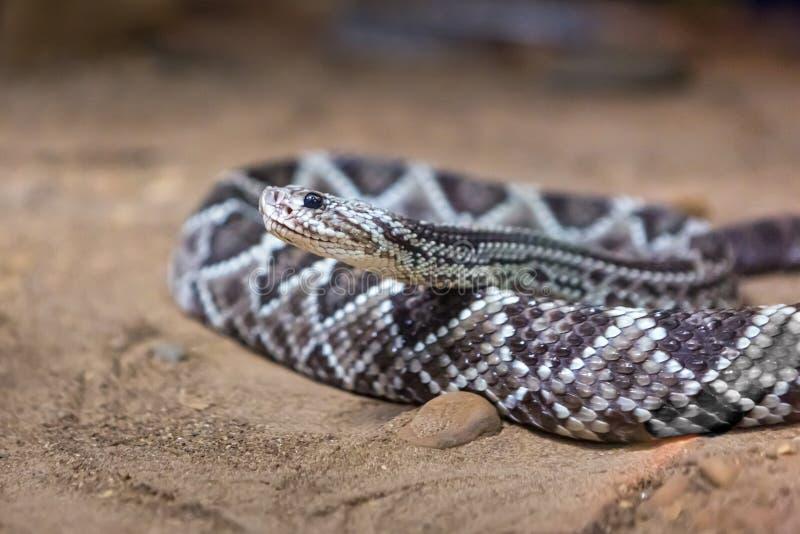 响尾蛇,响尾蛇atrox 西部的菱纹背响尾蛇 图库摄影