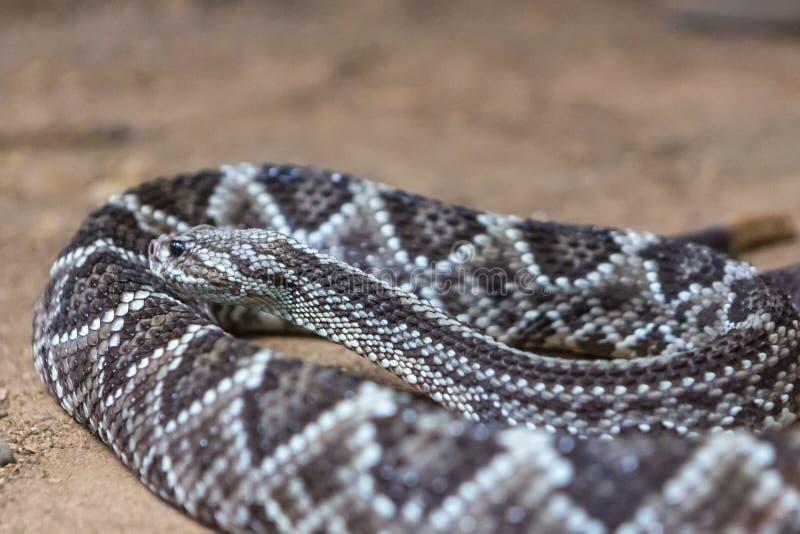 响尾蛇,响尾蛇atrox 西部的菱纹背响尾蛇 免版税图库摄影