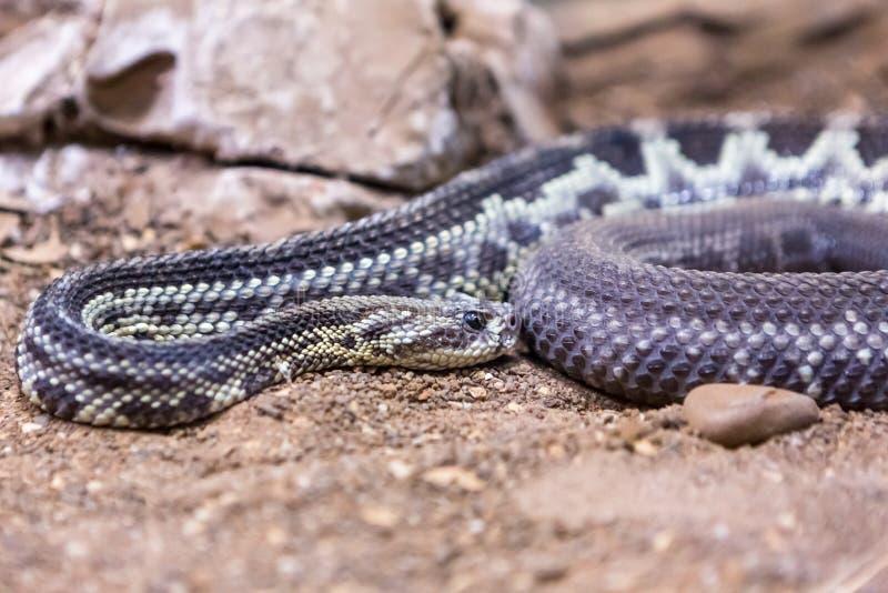 响尾蛇,响尾蛇atrox 西部的菱纹背响尾蛇 免版税库存图片