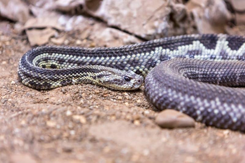 响尾蛇,响尾蛇atrox 西部的菱纹背响尾蛇 库存图片