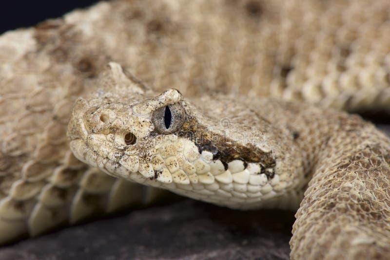 响尾蛇/响尾蛇角蝰蛇 库存照片