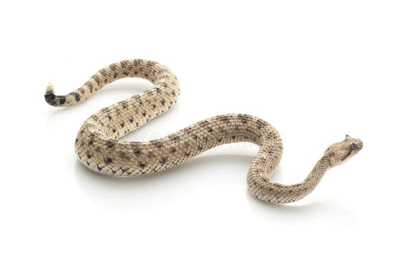 响尾蛇 库存图片