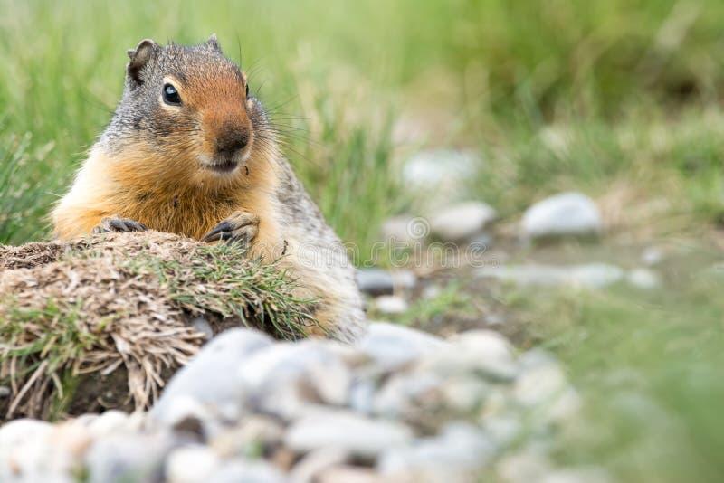 哥伦比亚地松鼠坐在加拿大岩石的地面 库存照片