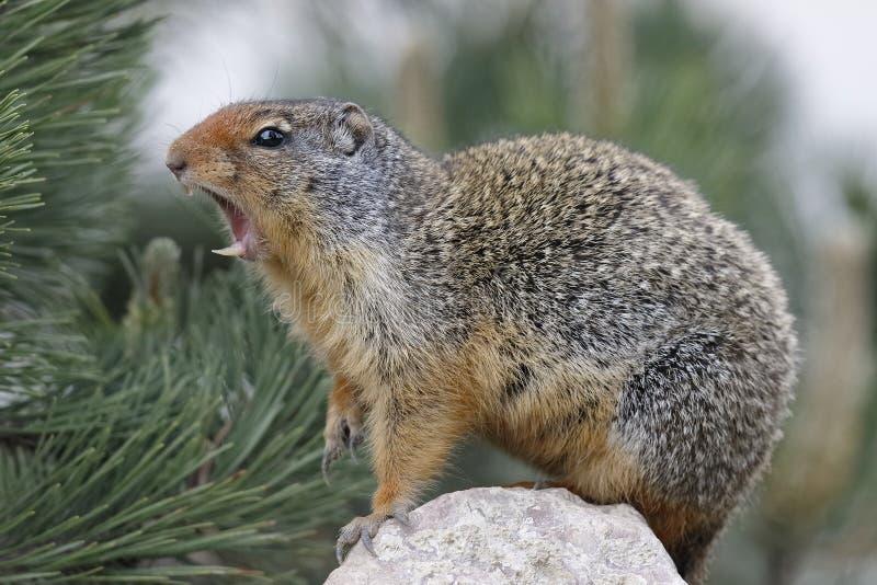 哥伦比亚地松鼠Callling在班夫国家公园 库存照片