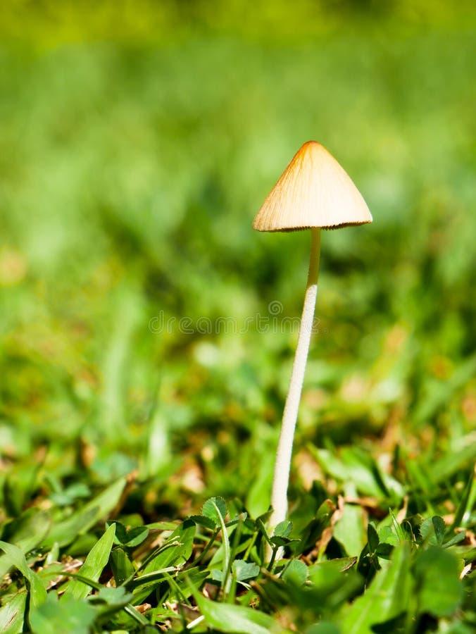 哥伦比亚恩维加多后院花园里没有复制空间的孤独蘑菇 免版税库存图片