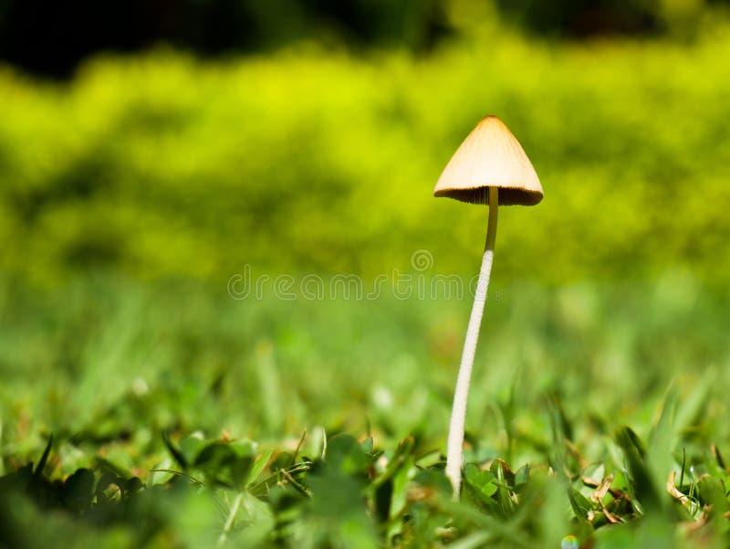 哥伦比亚恩维加多后院花园里没有复制空间的孤独蘑菇 库存照片
