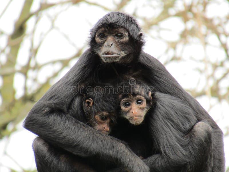 哥伦比亚的蜘蛛猴家庭 库存图片