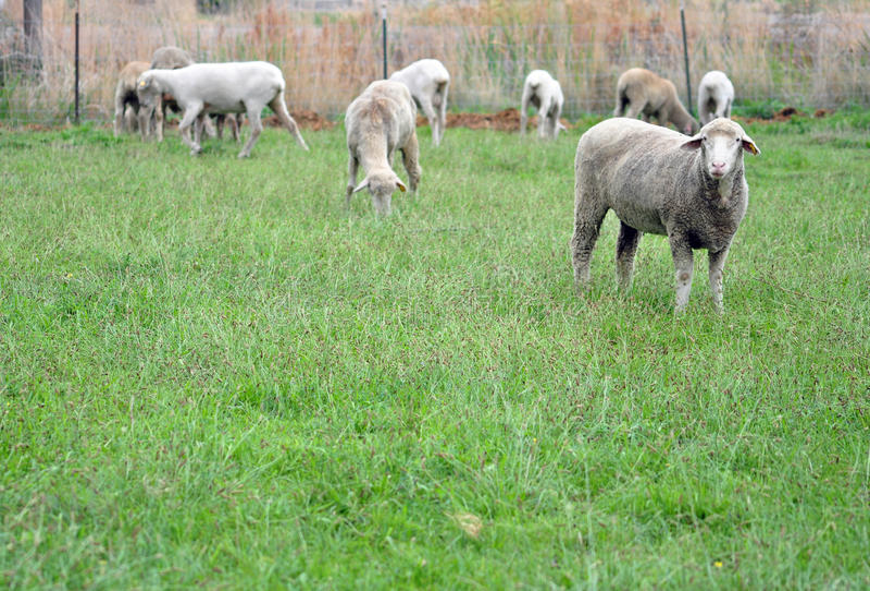 哥伦比亚绵羊 免版税库存图片