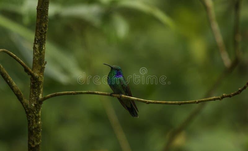 哥斯达黎加的哼唱着鸟 免版税库存照片