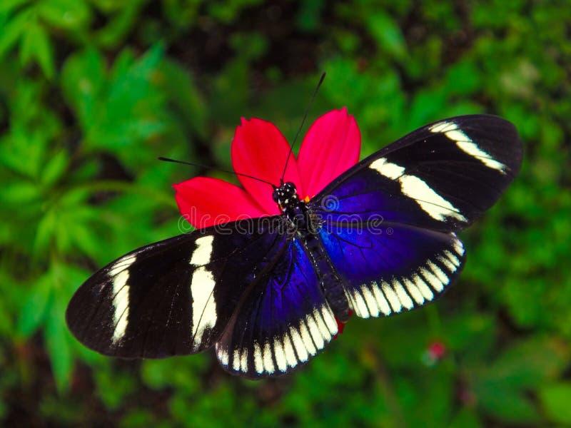 哥斯达黎加的蝴蝶 免版税库存图片