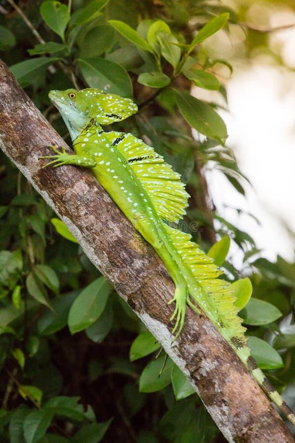哥斯达黎加,鬣鳞蜥 图库摄影