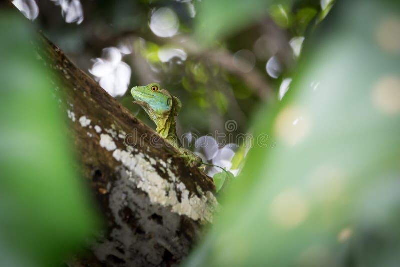 哥斯达黎加,鬣鳞蜥 库存图片