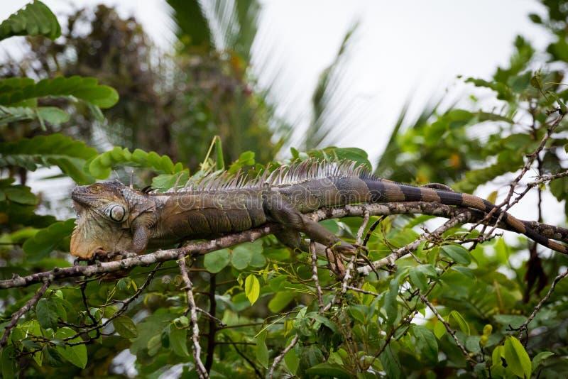 哥斯达黎加,鬣鳞蜥 免版税库存图片