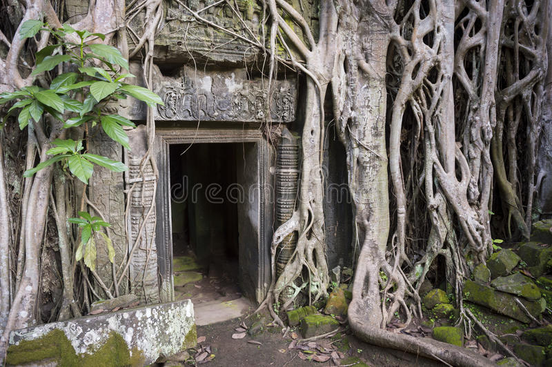吴哥窟密林寺庙长满的根 图库摄影