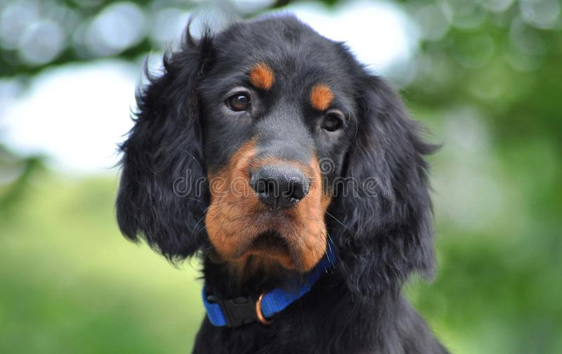 哥顿安装员小狗在夏天 免版税库存图片