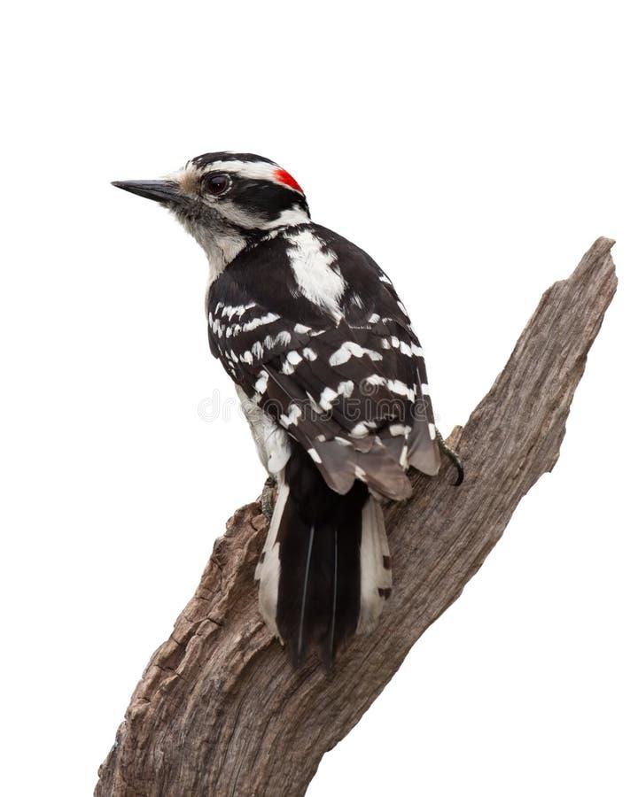 哭号的啄木鸟 免版税图库摄影