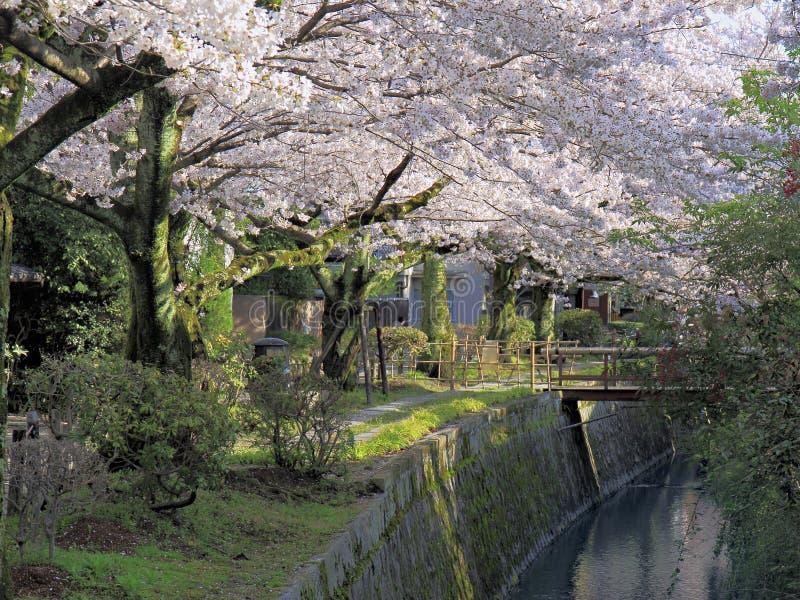 哲学路径在樱花之下的 免版税库存照片