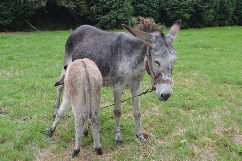 哺乳他的母亲的新出生的驴在一个农场在阿斯图里亚斯 免版税库存照片