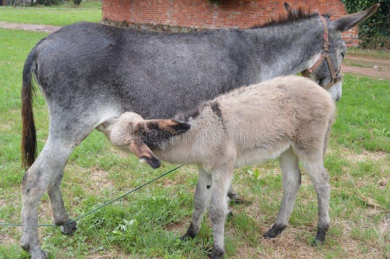 哺乳他的母亲的新出生的驴在一个农场在阿斯图里亚斯 库存图片