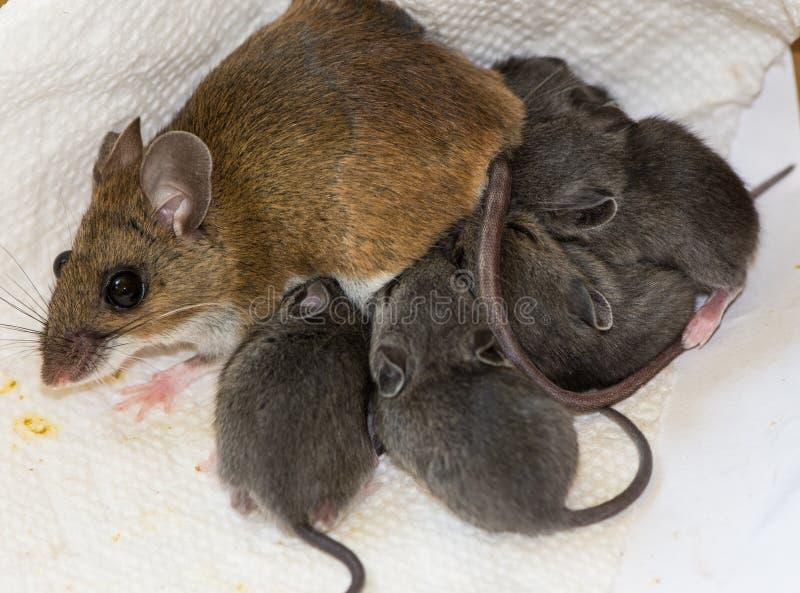 哺乳在一卷肮脏的毛巾纸的家鼠巢  库存图片