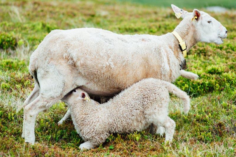 哺乳她小的羊羔的母亲绵羊 库存照片