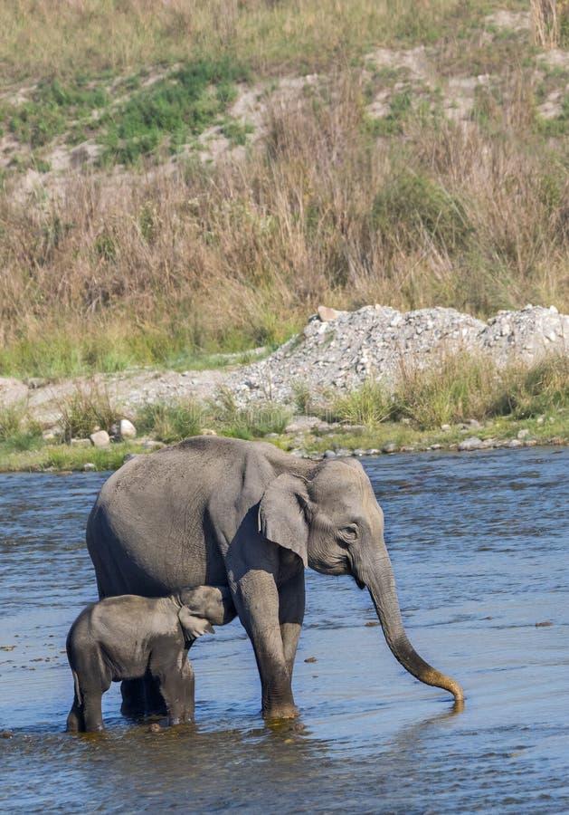 哺乳她的婴孩的大象女性 免版税库存图片