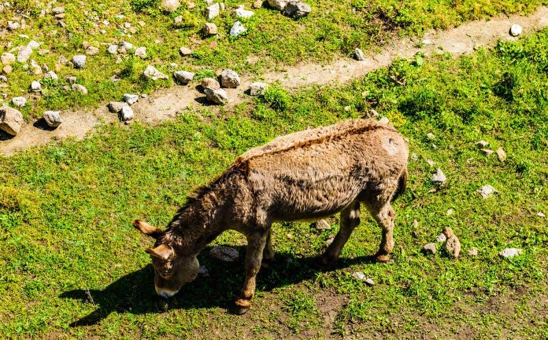 哺养与在美丽的草甸的草的Yound逗人喜爱的马在阿雅克修,科西嘉 库存图片