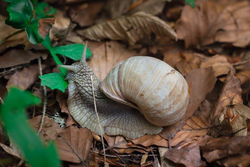 哺养与绿色叶子的葡萄蜗牛在下木森林里 图库摄影