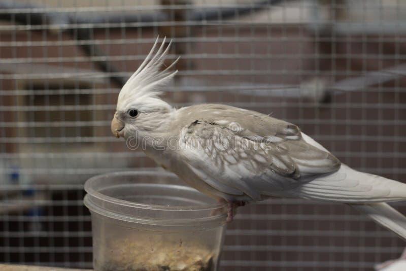 哺养从碗的白色面孔小形鹦鹉 免版税库存图片