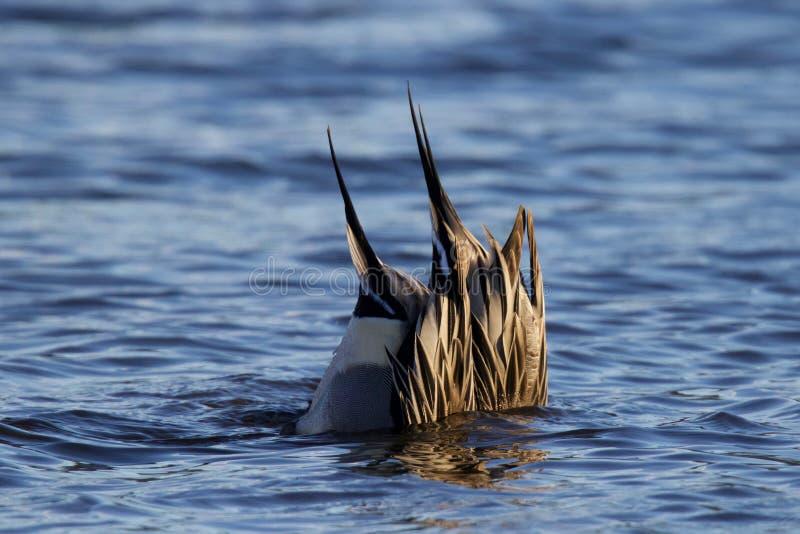 哺养在一个蓝色湖的长尾凫鸭子在冬天 图库摄影