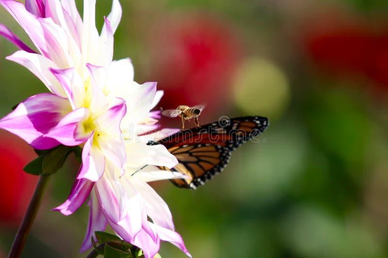 哺养在一朵桃红色大丽花野花的黑脉金斑蝶 库存照片