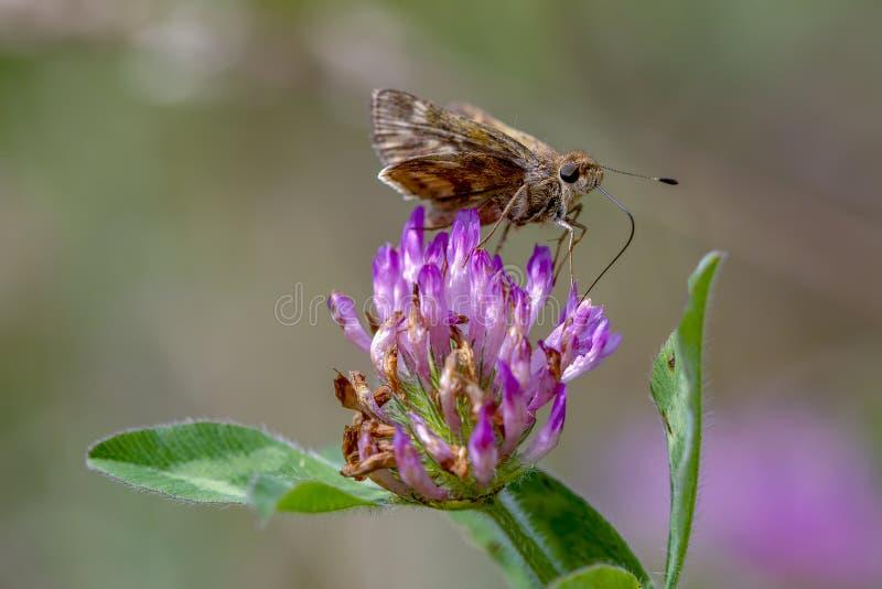 哺养在一朵红三叶草花的船长蝴蝶 免版税图库摄影