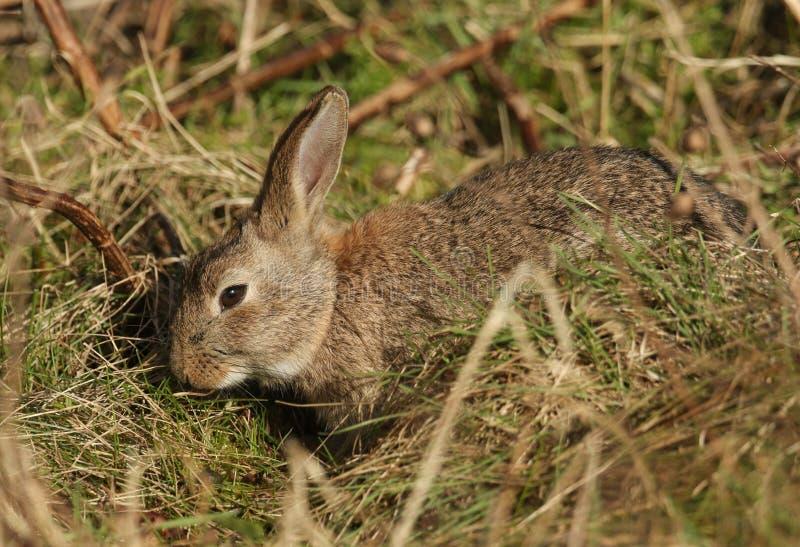 哺养在下木的惊人的野生兔子Orytolagus串孔 库存图片
