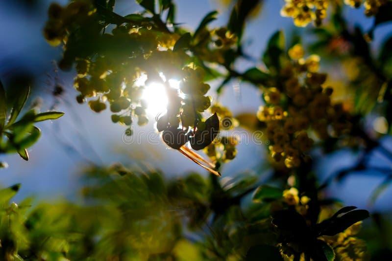 哺养在伏牛花花的大欧洲大黄蜂 图库摄影