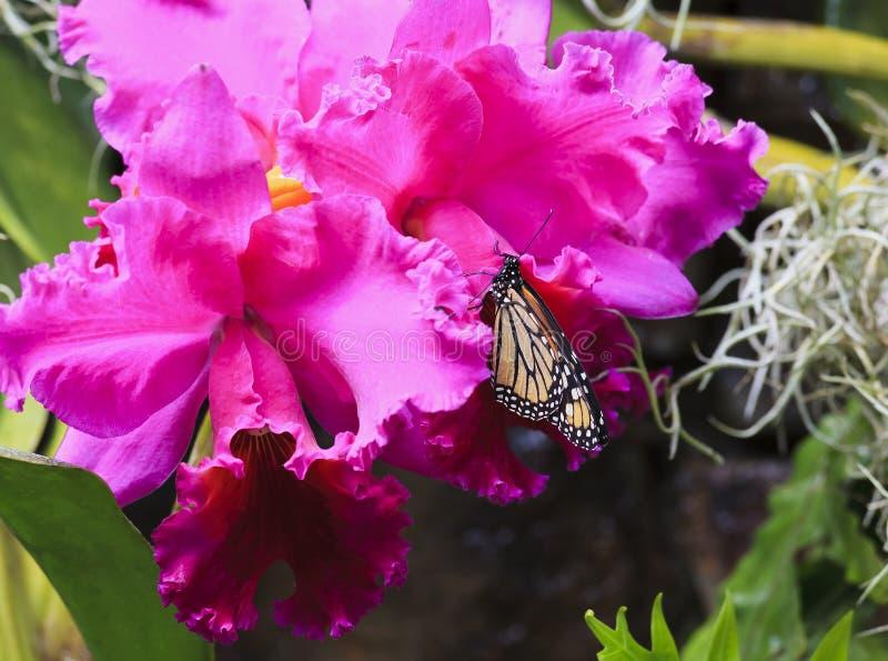 哺养在兰花的黑脉金斑蝶 免版税库存图片