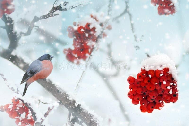 哺养在冷冻花楸浆果的公杉木蜡嘴鸟(Pinicola enucleator) 背景蓝色雪花白色冬天 库存图片