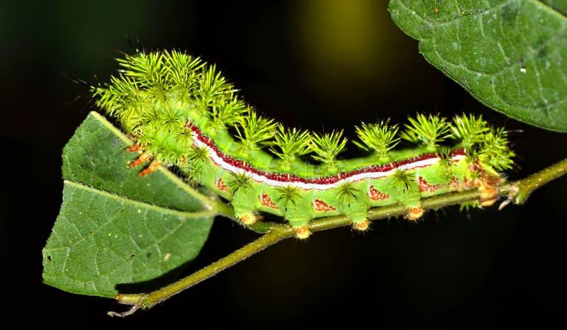 哺养在叶子的IO毛虫 免版税库存照片