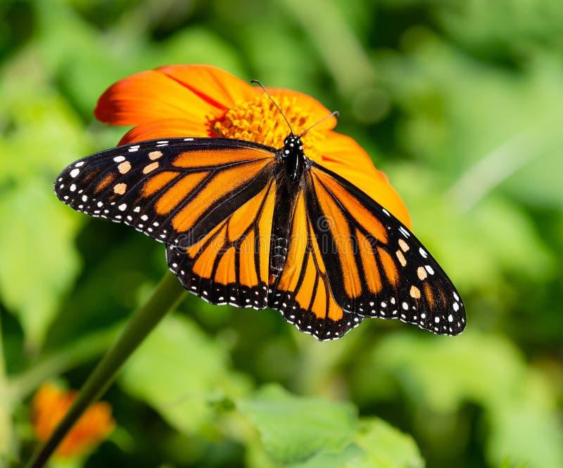 哺养在墨西哥向日葵的黑脉金斑蝶 免版税库存照片
