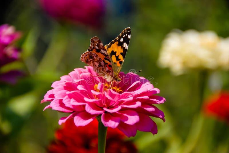哺养在大桃红色花的蝴蝶有被弄脏的背景 免版税库存图片