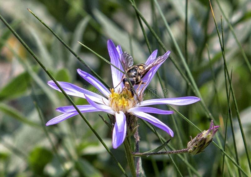 哺养在小瀑布翠菊的蜜蜂飞行在瑞尼尔山国家公园 库存图片