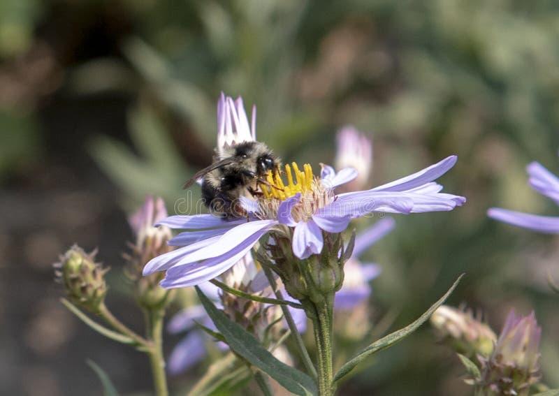 哺养在小瀑布翠菊绽放的土蜂在瑞尼尔山国家公园 库存图片